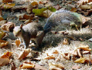 Brompton-squirrel.jpg (105081 bytes)