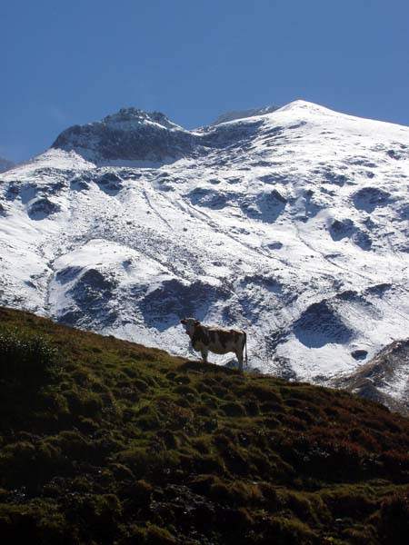 Grossglockner-cow